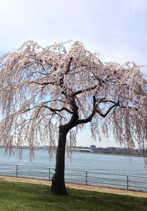Weeping cherry tree along the Potomac River.