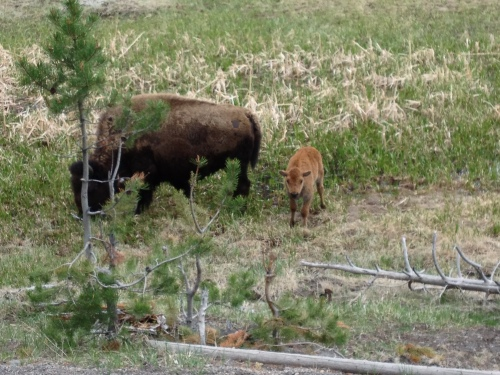 Lots of bison babies too!