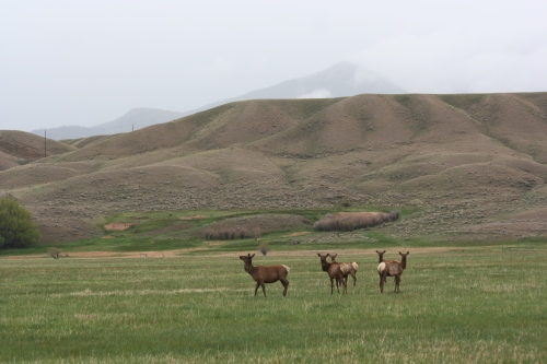 Group of Elk